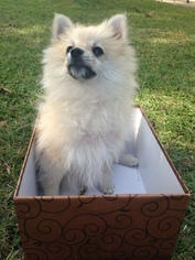 Pomeranian Puppy For Sale in CHANNELVIEW, TX