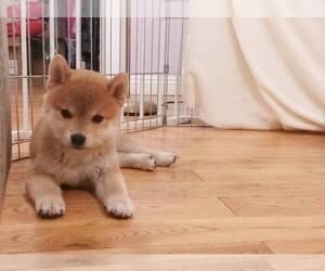 Shiba Inu Puppy for sale in TEMPLE CITY, CA, USA