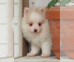 Pomeranian Puppies for Sale near Loveland, Ohio, USA, Page 1