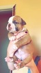 American Bulldog Puppy For Sale in OMAHA, NE, USA