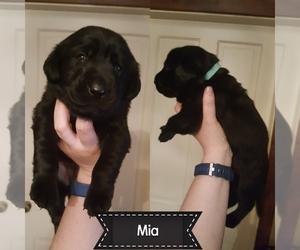 Labrador Retriever Puppy for sale in WOODSON, IL, USA