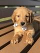 Golden Retriever Puppy For Sale in LAKELAND, FL, USA