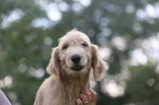 Goldendoodle Puppy For Sale in GLASGOW, KY, USA