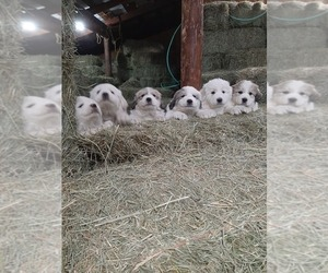 Great Pyrenees Puppy for sale in RONAN, MT, USA