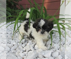 Shih Tzu Puppy for sale in LE MARS, IA, USA