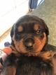 Rottweiler Puppy For Sale in CUMBERLAND, Virginia,