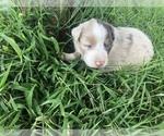 Puppy 11 Australian Shepherd