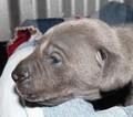 Puppy 8 Weimaraner