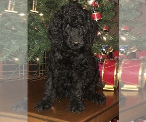 Poodle (Standard) Puppy for sale in MINERAL BLUFF, GA, USA
