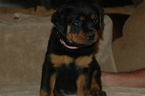 Rottweiler Puppy For Sale in SHOW LOW, AZ,