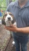 Treeing Walker Coonhound Puppy For Sale in FORT RIPLEY, MN, USA