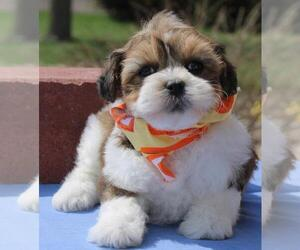 Lhasa Apso-Poodle (Toy) Mix Puppy for sale in ORO VALLEY, AZ, USA