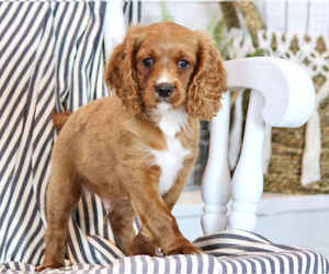 Cavalier King Charles Spaniel-Cockapoo Mix Puppy for Sale in EPHRATA, Pennsylvania USA