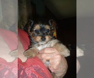 Yorkshire Terrier Puppy for sale in JAMAICA, IA, USA
