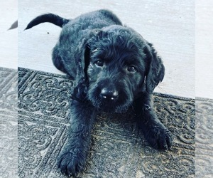 Labradoodle Puppy for sale in CEDAR FORT, UT, USA