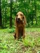 Redbone Coonhound Puppy For Sale in GEORGETOWN, TN,