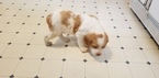 Brittany Puppy For Sale in CLEARWATER, MO, USA