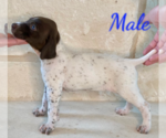 Puppy 7 German Shorthaired Pointer