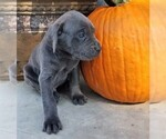 Small Photo #3 Cane Corso Puppy For Sale in FORKSVILLE, PA, USA