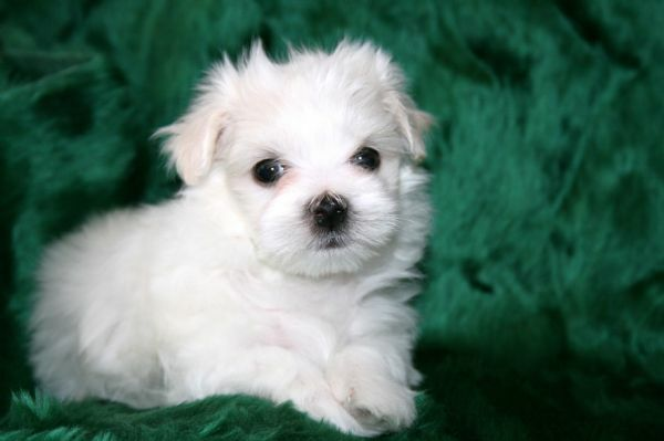 maltese puppy for sale in tn view ad maltese puppy for sale near tennessee karns usa 1649