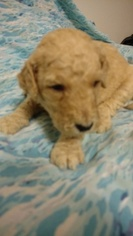 Goldendoodle Puppy For Sale in JONESBOROUGH, TN, USA