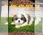 Small Photo #2 Maltese Puppy For Sale in MIAMI, FL, USA