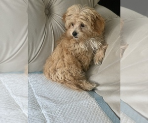 Maltipoo Puppy for sale in BAYSIDE, NY, USA
