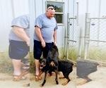 Small #99 Rottweiler