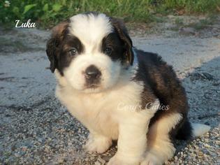 Saint Bernard Puppy For Sale in ELKLAND, MO, USA