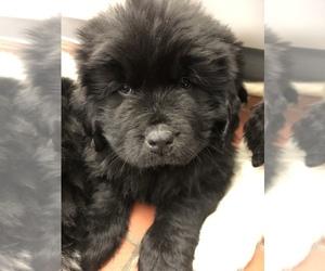 Newfoundland Puppy for Sale in SHAKOPEE, Minnesota USA