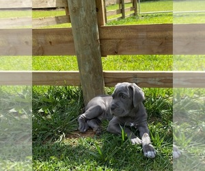 Neapolitan Mastiff Puppy for Sale in KENNESAW, Georgia USA