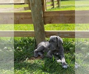 Neapolitan Mastiff Puppy for Sale in KENNESAW, Georgia USA