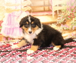 Small Photo #1 Bernese Mountain Dog-Collie Mix Puppy For Sale in SHILOH, OH, USA