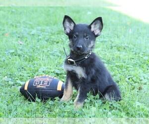 German Shepherd Dog Puppy for sale in FREDERICKSBG, OH, USA