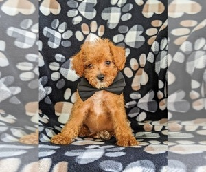 Poodle (Miniature) Puppy for sale in KINZERS, PA, USA