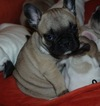 French Bulldog Puppy For Sale in GAINESVILLE, GA, USA