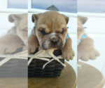English Bulldogge Puppy For Sale in HUDSON, MI, USA