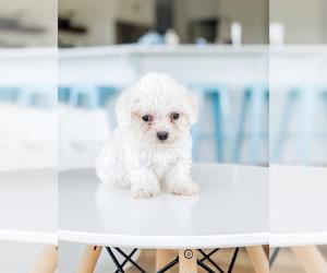 Bichon Frise Dog for Adoption in MILLERSBURG, Ohio USA