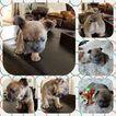 French Bulldog Puppy For Sale in SPOKANE, WA