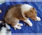 Puppy 5 Collie