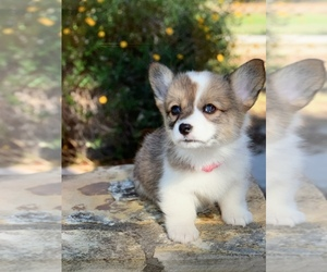 Pembroke Welsh Corgi Puppy for Sale in CASTROVILLE, Texas USA