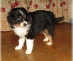 Australian Shepherd Puppy For Sale in CAMPBELL, MN, USA