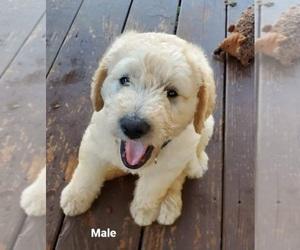 Labradoodle Puppy for sale in CLARKESVILLE, GA, USA