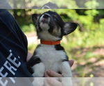 Small Photo #6 Pembroke Welsh Corgi Puppy For Sale in TUPELO, MS, USA