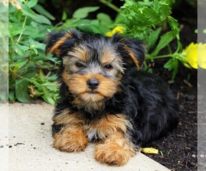 Yorkshire Terrier Dog for Adoption in FREDERICKSBG, Ohio USA