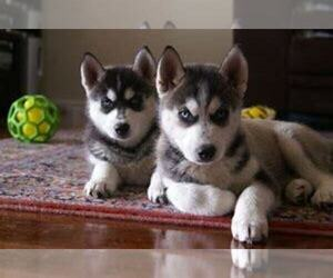 Pomsky Puppy for sale in BAR MILLS, ME, USA