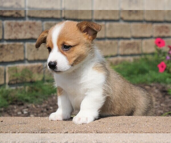 PuppyFinder com - View Ad: Photo #2 of Listing Pembroke
