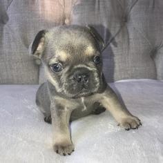 View Ad French Bulldog Puppy For Sale Pennsylvania Brickerville Usa