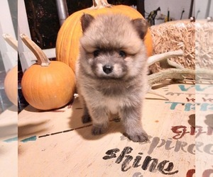 Pomeranian Puppy for sale in CARTHAGE, TX, USA