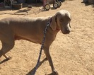 Weimaraner Puppy For Sale in SCOTTSDALE, AZ, USA